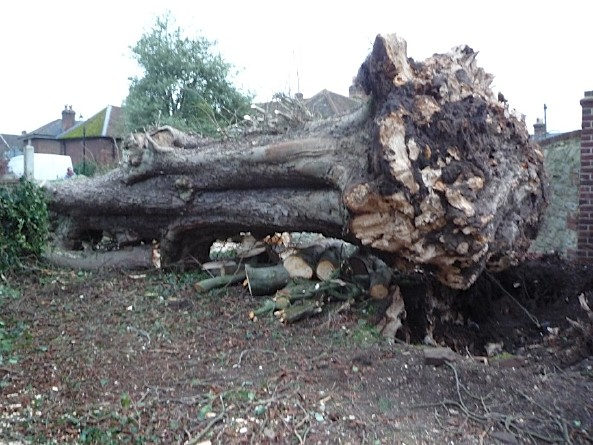 30 ton horse chestnut tree, blown down in storm, 3rd January 2012